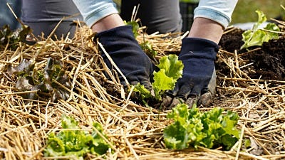 Beginner's Guide to Straw Bale Gardening