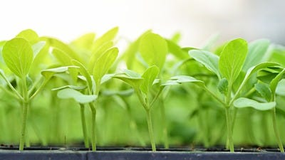 Protecting Seedlings: Transitioning To Outdoor Hydroponics