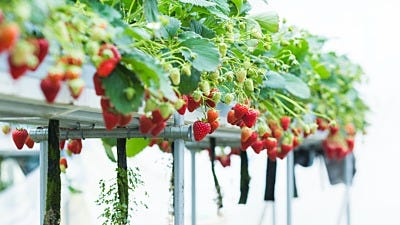 What Nutrients Do Hydroponic Strawberries Need?