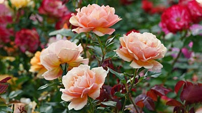 What Type Of Rose Should I Plant?